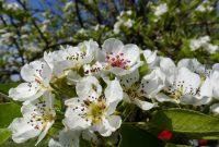 Birnenblüten im Fruehling